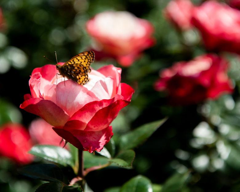 Fjäril sitter på en ros